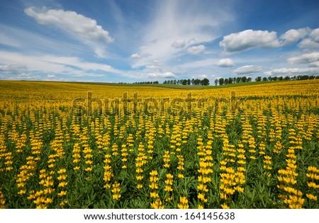 Field of yellow lupine - stock photo
