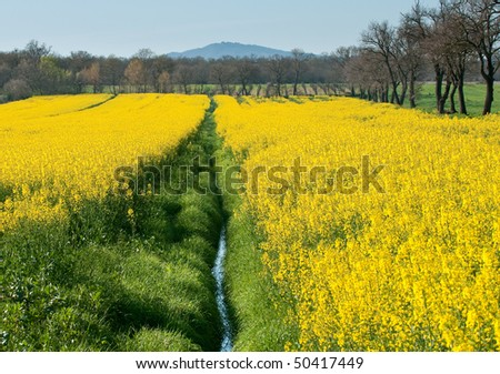 Field of yellow rapeseed