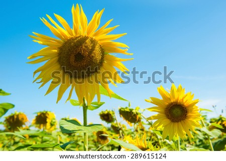 Field of yellow sunflowers with green leaves under blue sunny sky - stock photo