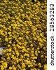 Field of yellow Tar Weed wild flowers - stock photo