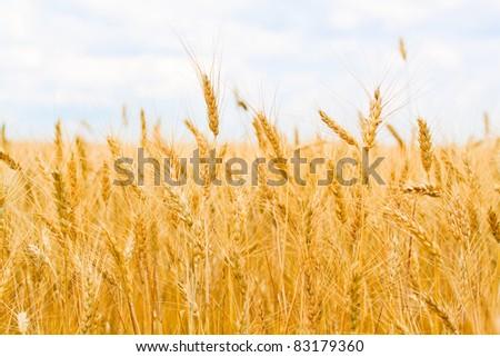 field of yellow wheat - stock photo