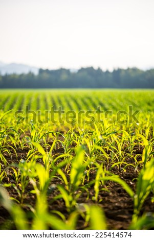 Field of young fresh green maize or corn plants backlit by the sun with shallow dof stretching into the distance. - stock photo