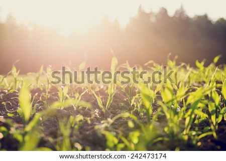 Field of young green maize or corn plants backlit by the sun with a vintage style filter effect. - stock photo