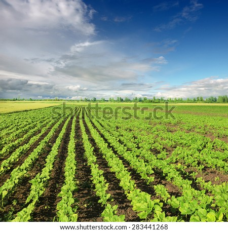field of young green sunflower plants