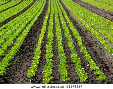 Field of young lettuces - stock photo