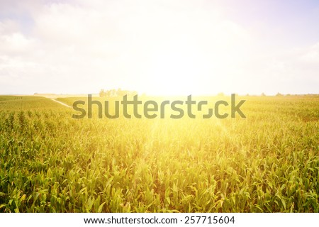 Field of young sunflowers in sunset. Ukraine.