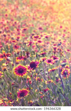 Field or meadow of Indian Blanket flowers blooming with vintage retro filter and sun flare  - stock photo