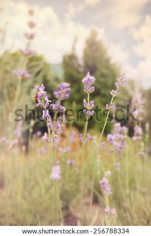 Field perennial flower English lavender, closeup, tinted - stock photo