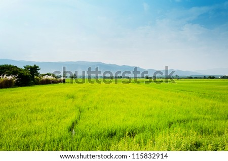 field rice landscape native of life in Thailand