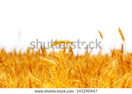 field ripe ears of wheat