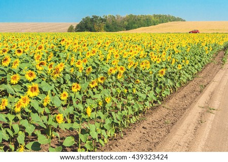Field road through flowering sunflowers on a sunny summer day. Harvested fields and a forest belt in the background against a blue cloudless sky - stock photo
