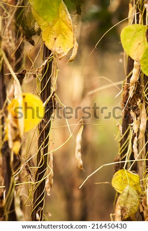 field soybeans in autumn, golden colored cultivated farmland vertical landscape  - stock photo