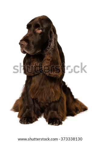 Field Spaniel sitting on white Background - stock photo