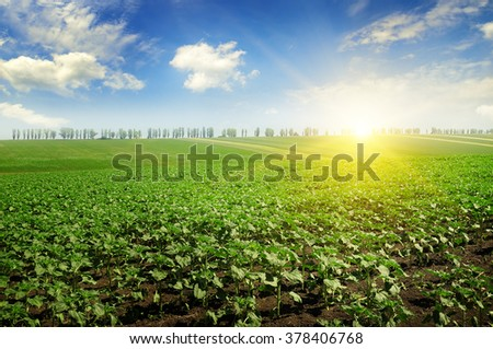 field sunflower sprouts and sunrise - stock photo