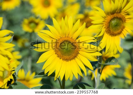 Field sunflowers, in the south of Ukraine - stock photo
