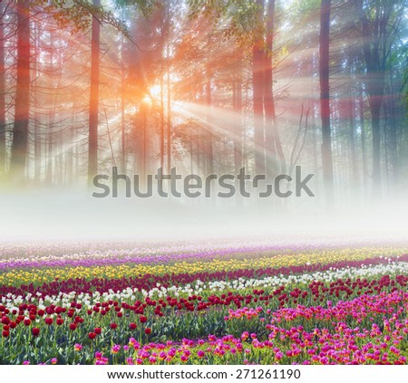 Field  tulips of different breeds on the backdrop of scenic wilderness after rain misty  among bright spring greens in the mountains in the warm golden rays of sunrise sun-natural beauty of the Earth - stock photo