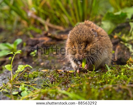 Field vole (Microtus agrestis)  eating root