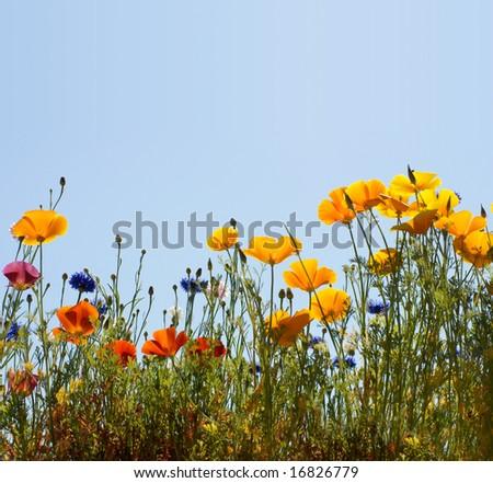 field width california golden poppy and cornflowers - stock photo