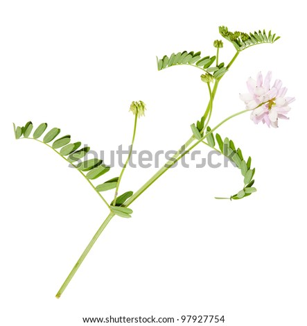 field (wild) flower (mouse pea, Vicia cracca) - stock photo