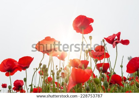 Field with a red poppy flowers in morning sunlight. Santorini island, Greece. Beautiful summer landscape. Small depth of sharpness