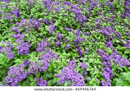 Field with blossomed lilac flowers