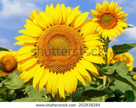 Field with bright yellow sunflowers and blue sky with clouds.  - stock photo