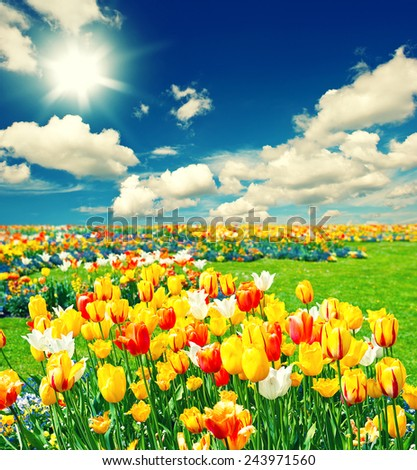 Field with colorful tulip flowers. Landscape with sunny blue sky - stock photo