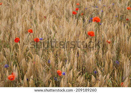 field with corn and poppy - stock photo
