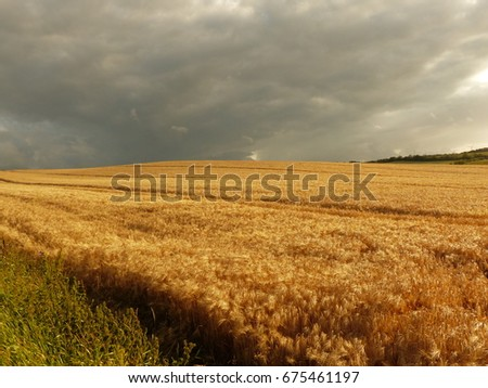 Field with corn in afternoon