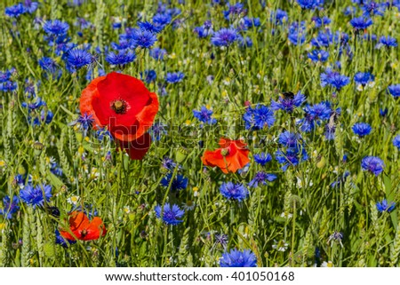 Field with cornflower, bumblebee and poppy in the sun, image Daan Kloeg, Commee. - stock photo