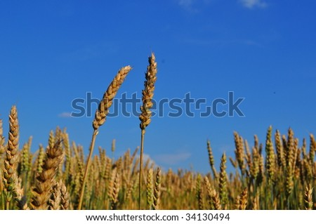 field with corns on summer