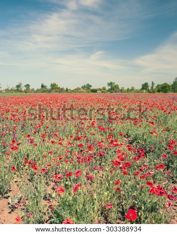Field with flower of the poppy on background blue sky, retro color. - stock photo
