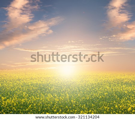 Field with flowers at sunset