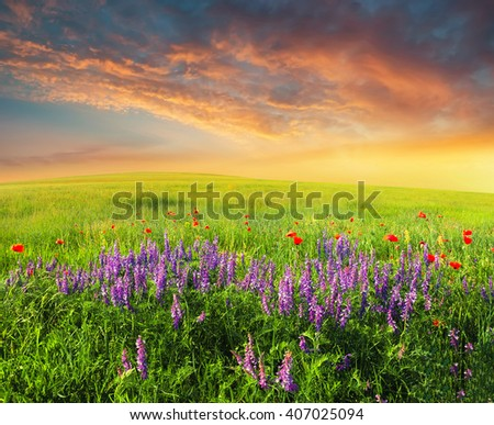 Field with flowers in mountain valley. Natural summer landscape during sunset - stock photo