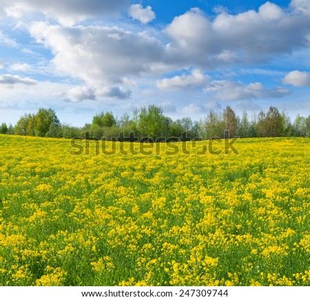 Field with gold flowers of bittercress under the blue sky.  - stock photo