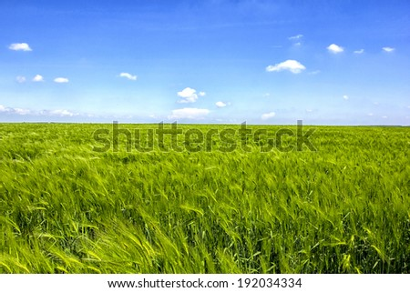 Field with green barley - stock photo
