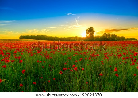 field with green grass and red poppies against the sunset sky  in Hungary- This photo make HDR technique - stock photo
