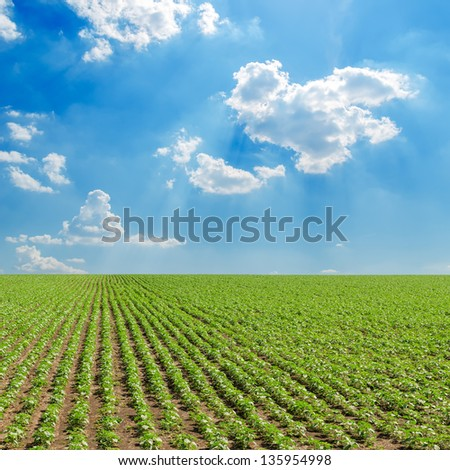 field with green sunflowers under cloudy sky - stock photo