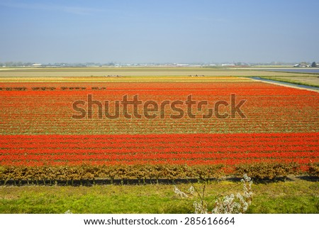 Field with large rows of red tulips at the Keukenhof in Lisse, Nethetlands - stock photo