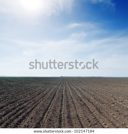field with little green sunflowers under blue sky with sun