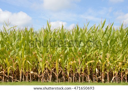 Field with maize plants