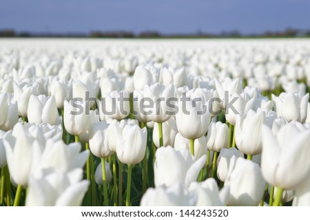 field with many white tulips, Alkmaa, North Holland - stock photo