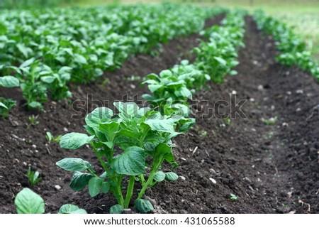 Field with organic potato plants - stock photo