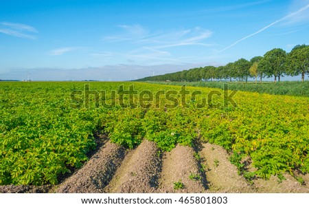 Field with potatoes in summer