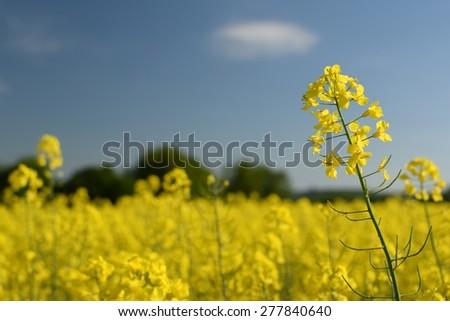 Field with rape (Brassica napus) (Brassica napus)  - stock photo