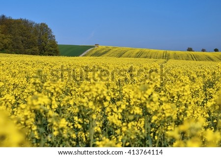 Field with rape (Brassica napus) (Brassica napus) - stock photo