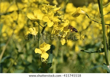 Field with rape (Brassica napus) (Brassica napus) Flying bee on a flower - stock photo
