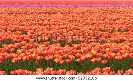 Field with red, orange and purple tulips