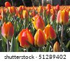 Field with red-yellow tulips - stock photo