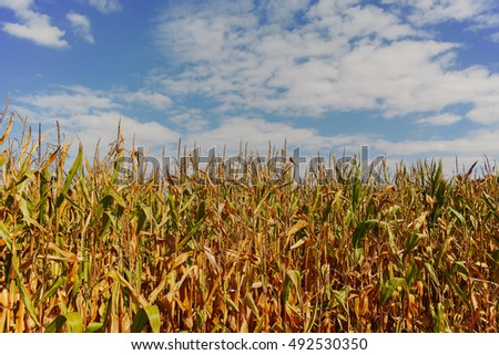 Field with ripe corn and blue sky, copy space